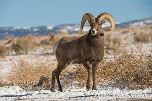 Wintering Ram Nov18