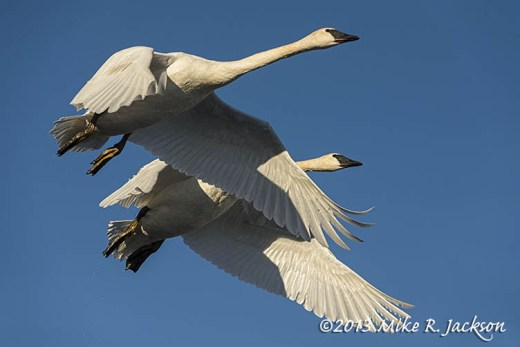 Swan Pair In Flight Nov29