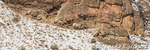 Web Bighorn Chase Dec13