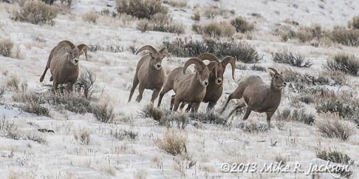 Web Bighorns Chasing EweDec13