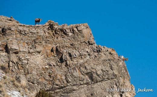 Web Bighorns On Rocks Dec27