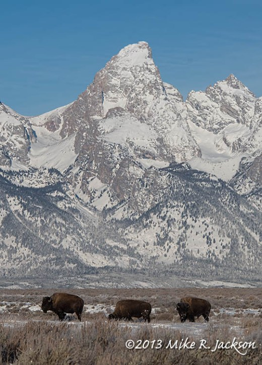 Web Bison and Tetons Dec16