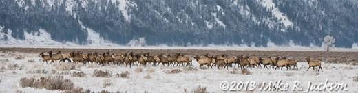 Web Elk Herd Dec13