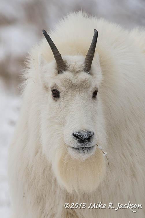 Web Goat Face Dec8