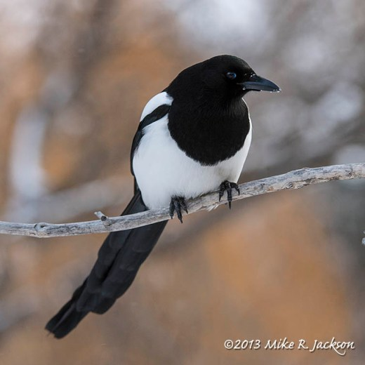 Web Black-billed Magpie Dec10