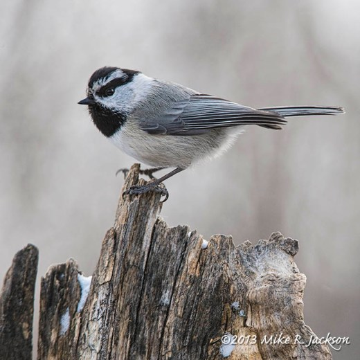 Web Mountain Chickadee Dec10