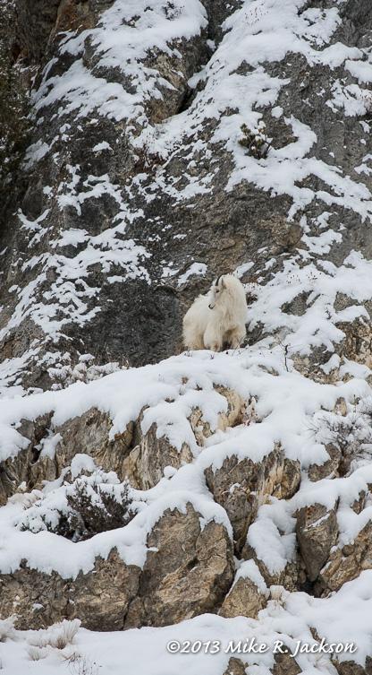 Web Mtn Goat On Rocks Dec21
