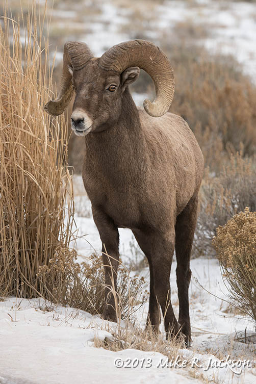 Web Bighorn Ram By Grass