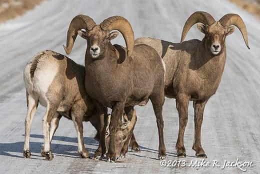 Web Rams In Road Dec3