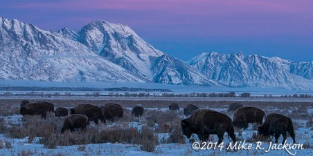 Bison Sunrise Dec12