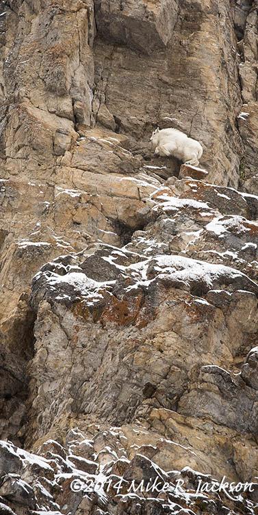 Mtn Goat Jumping Dec8