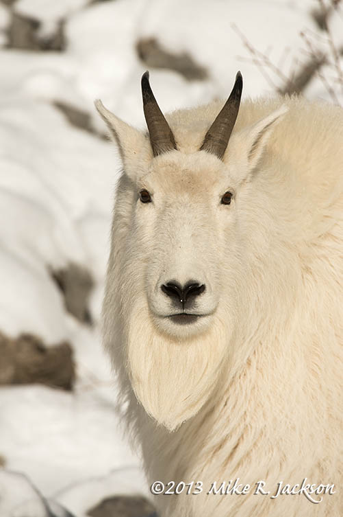 Mtn Goat Portrait Dec12