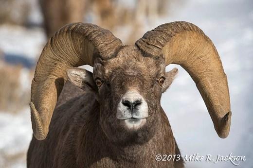 Rams Face Dec3