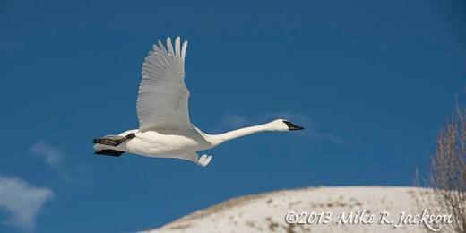 Trumpeter Swan Dec26