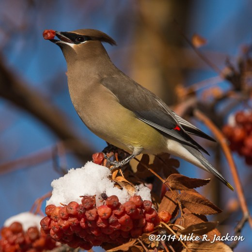 Web Waxwing and Berry Jan1