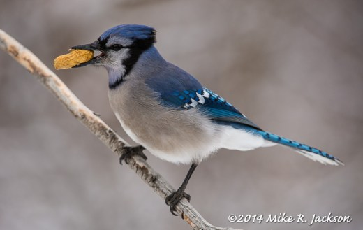 Web Blue Jay With Peanut Feb19
