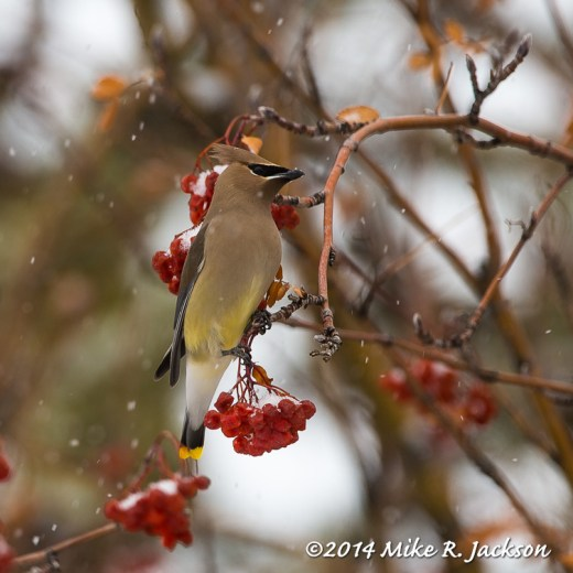 Web Cedar Waxwing Snow Feb14