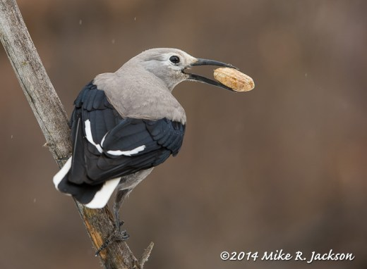Web Clark's Nutcracker With Peanut Feb15