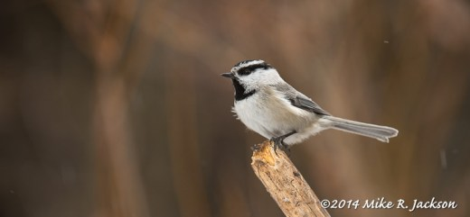Web Mtn. Chickadee Feb15