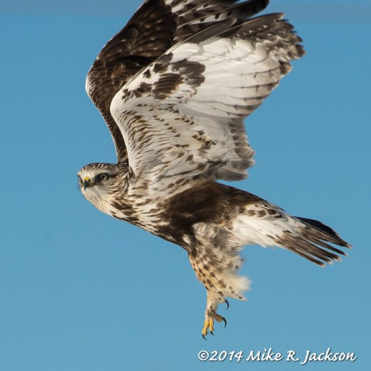 Web Rough-Legged Hawk Feb25