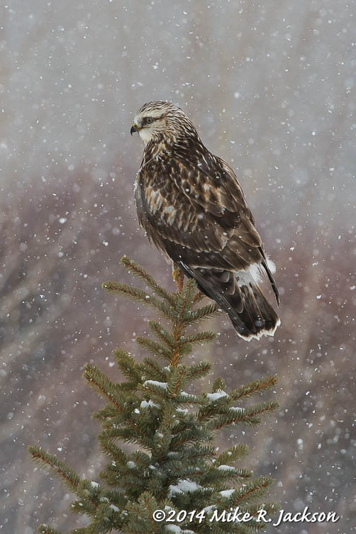 Web Ruff Legged Hawk Snow Feb12