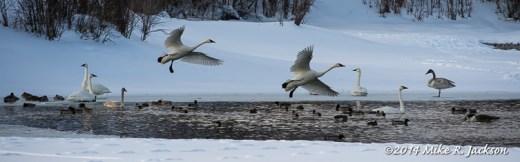 Web Swans Landing Feb10