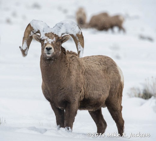 Web_Bighorn Rams Crown Of Snow Mar1