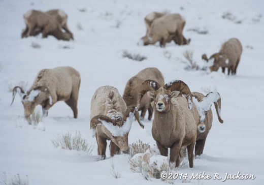 Web Bighorn Rams Returning Mar1