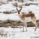 Web Pronghorn Buck Mar4