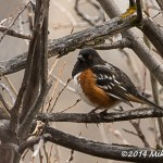 Web Spotted Towhee Mar30