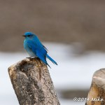 Web Bluebird Apr4