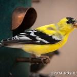 Web Goldfinch April7