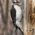 Web_WoodpeckerStill_Jan22