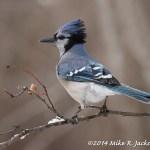 Web Blue Jay April6