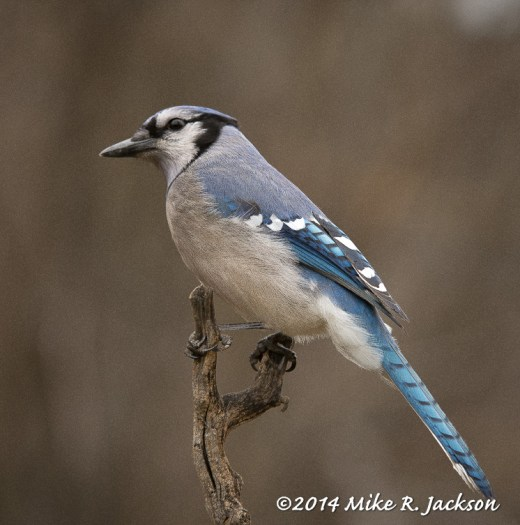 Web_BlueJay_May5