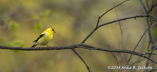 Web_Goldfinch_May19