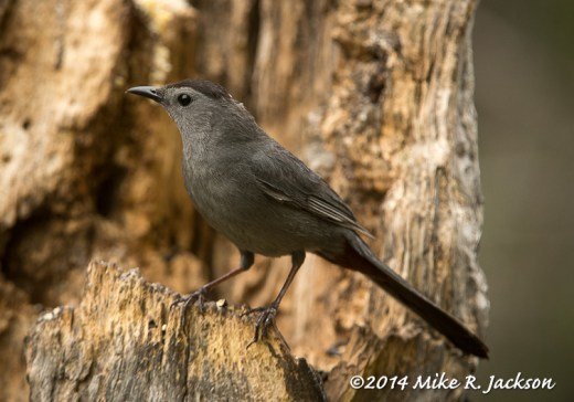 Web_GrayCatbird_May29
