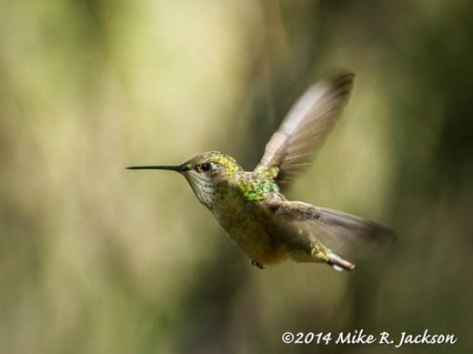 Web_Hummingbird_June5
