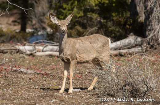 Web_MuleDeer_May1