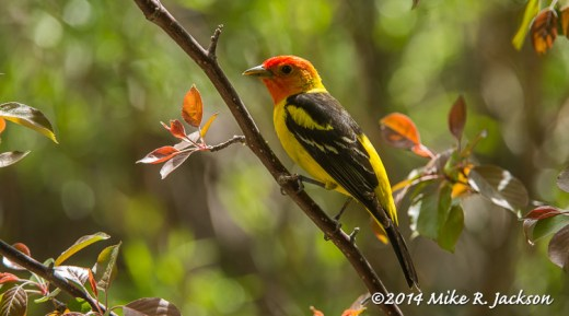 Web_Tanager_June1