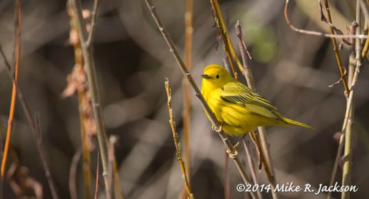 Web_YellowWarbler_May15