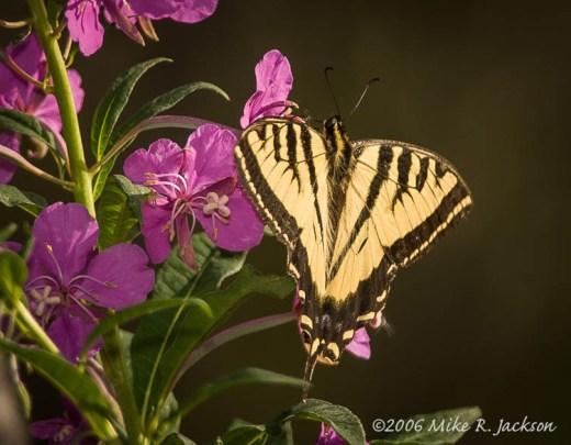 Web_Butterfly2006