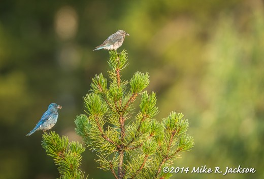 Web_BlueBirds_July12