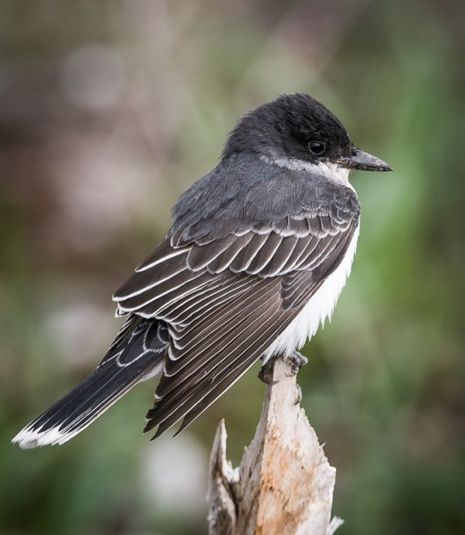 Web_Eastern Kingbird