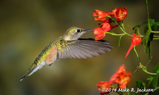 Hummer and Red Flowers