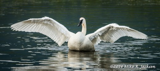 Lone Swan Stretching