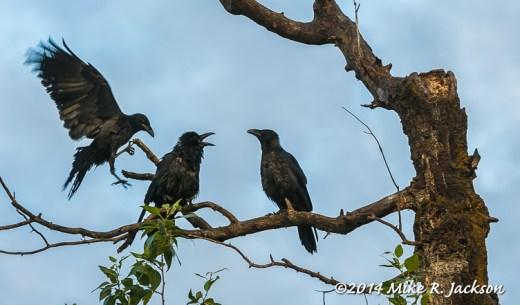 Web_Ravens_July12