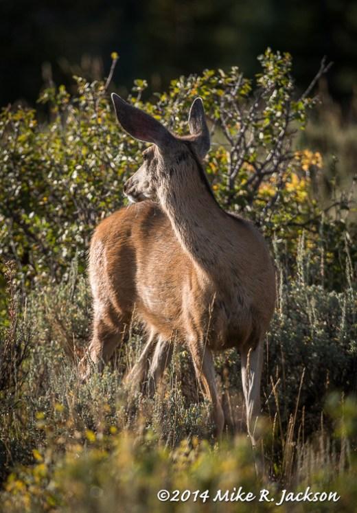 Alert Mule Deer