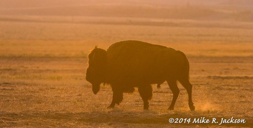 Bison Bull In Gold