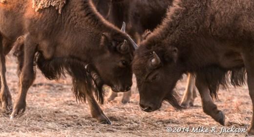 Bison Heads